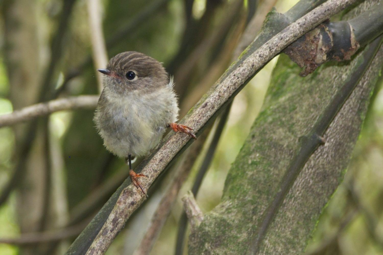 Estudio CSIC aves insulares y continentales