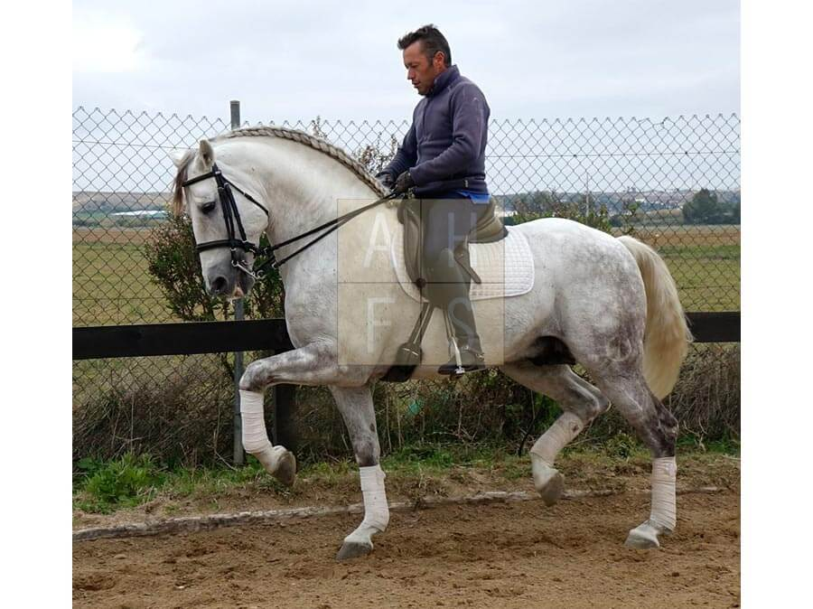 Aubepines Fei 1: Andalusian Horses For Sale