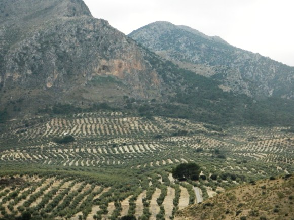 Uliveto intensivo in provincia di Jaén, la maggior produttrice mondiale.