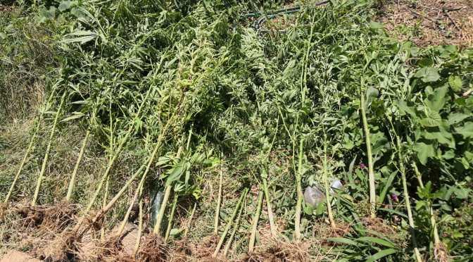 FELCN incauta 63 plantines de marihuana, lo plantaron en un lote baldío
