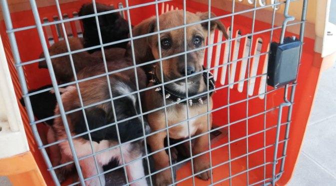 Rescatan a 72 animales que eran comercializados en la Feria 16 de Julio