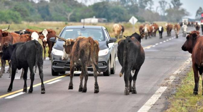 En Villa Montes plantean sancionar a dueños de animales en carreteras y calles