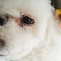 minha vida dona de um cachorro com edema pulmonar