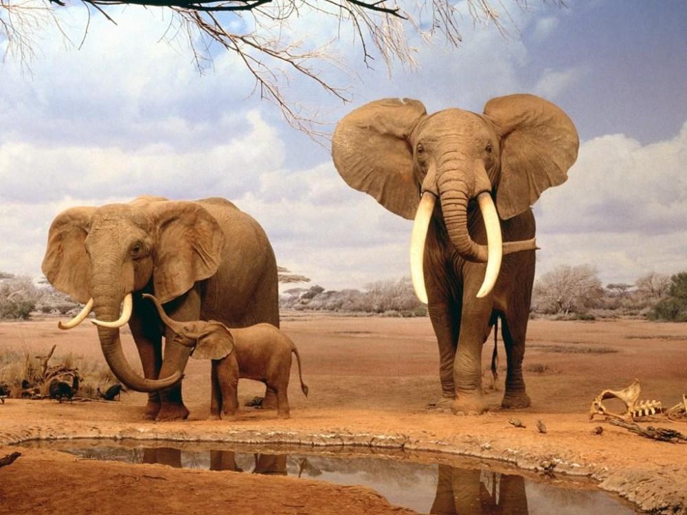 Nacen elefantes sin colmillos en África (1/5)