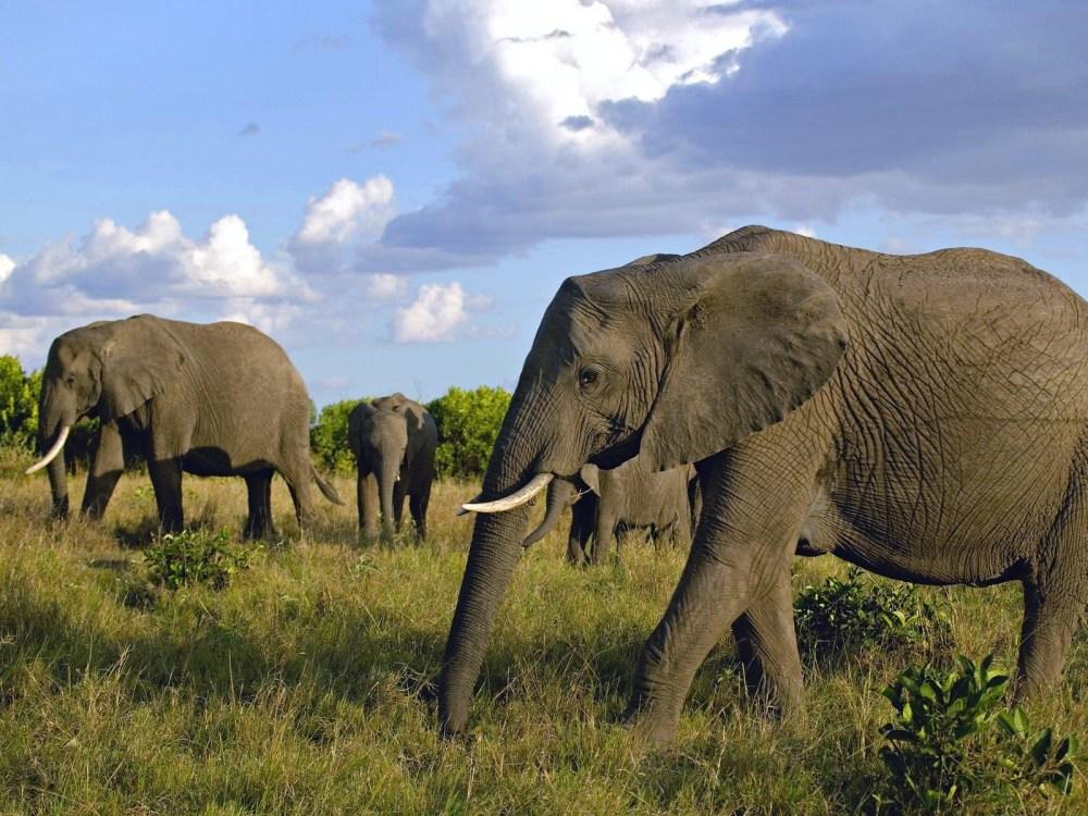Nacen elefantes sin colmillos en África (2/5)