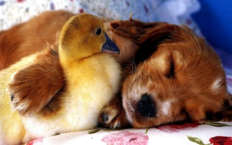 puppy_duckling_friends_85467_2560x1600