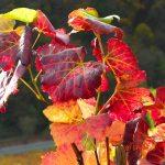 Feurig buntes Weinlaub im Tal der Roten Traube