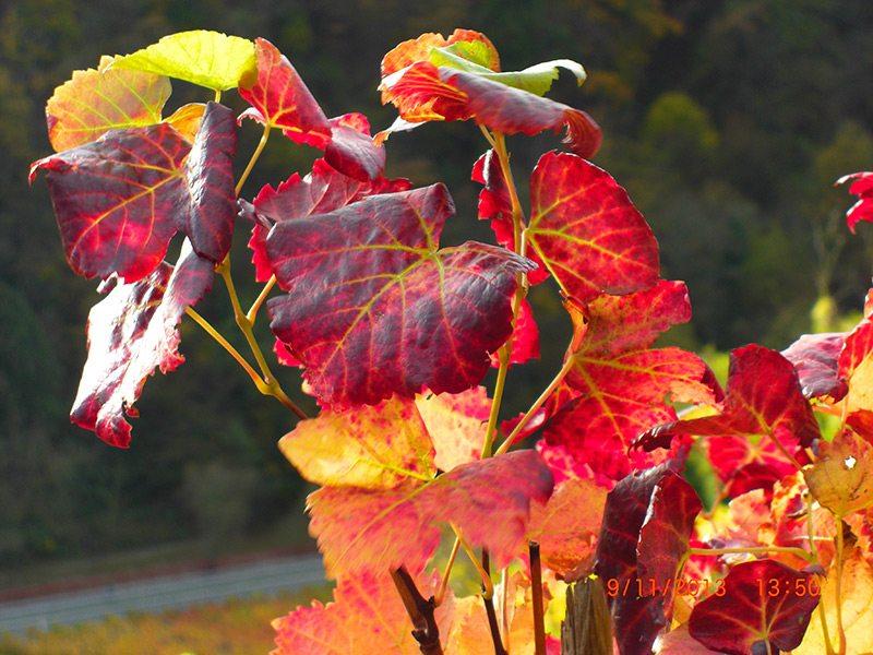 Wandern im Ahrtal im Herbst ist ein besonders sinnlicher Genuss, wenn das Weinlaub sich bunt färbt