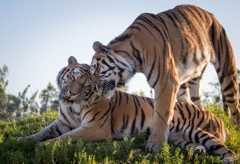 Sibirische Tiger – mitten im Hunsrück. Ich glaub es nicht (Foto: Tier- und Freizeitpark Bell)