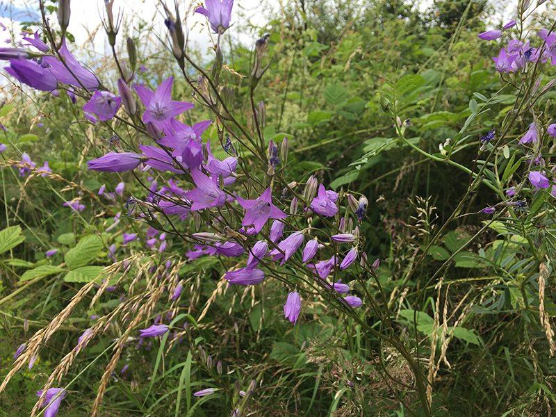 Wilde Wiesenblumen gab es überall auf der Traumpfad-Vier-Berge-Tour