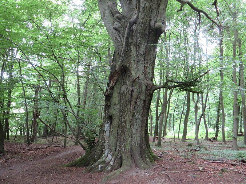 Ein ganz besonders beeindruckends Baumexemplar steht direkt am Pfad der Traumpfad-Vier-Berge-Tour