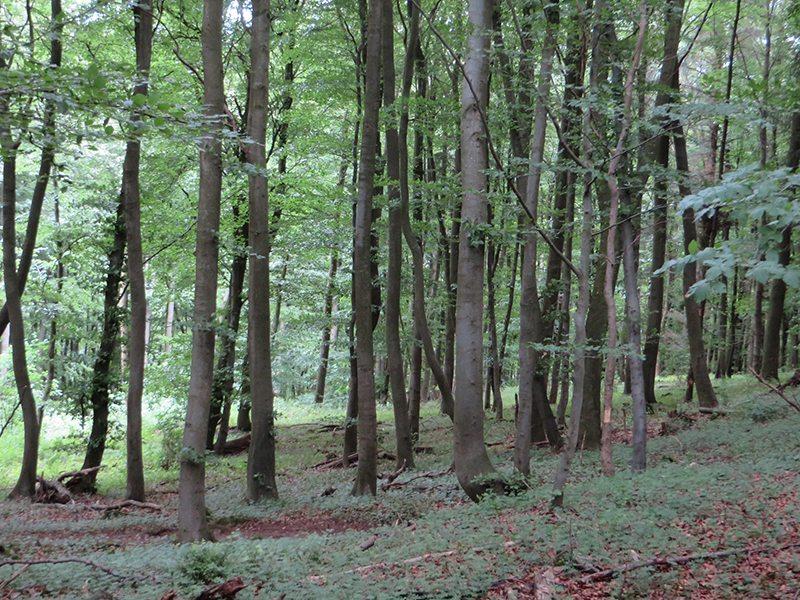 Der Buchenhochwald – der deutscheste aller Wälder – ist noch jung