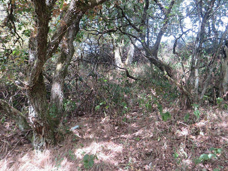 Trockenes Laub, verdurstende Bäume mit braunen Blättern: Die Trockenheit der letzten Tage lässt die kümmerlichen Eichen noch kränker aussehen (Foto: Hans-Joachim Schneider)