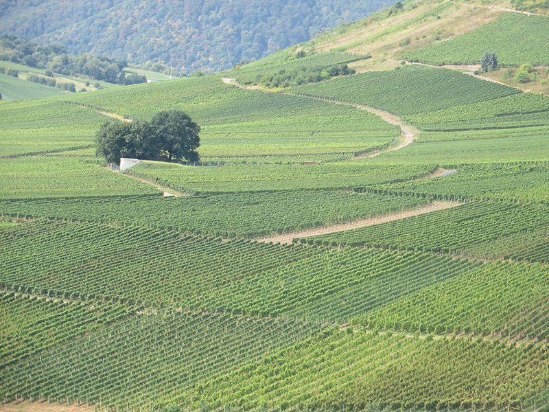 Weinbau, Wingerte, weinterassen, auf der Eifelseite der Mosel