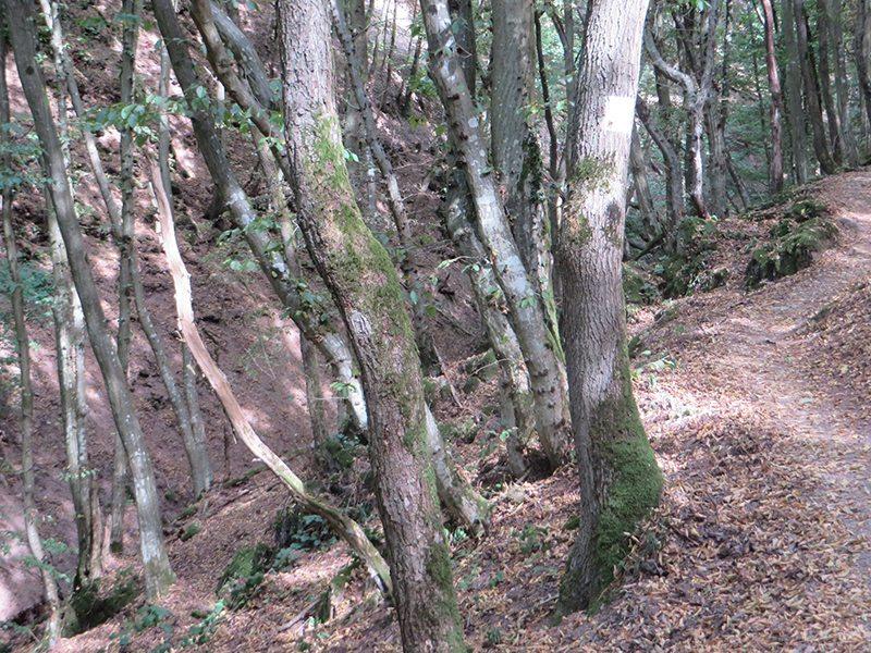 Wald, Eichen, Buchen, Licht, Schatten, Pfad, Moselsteig Etappe 18