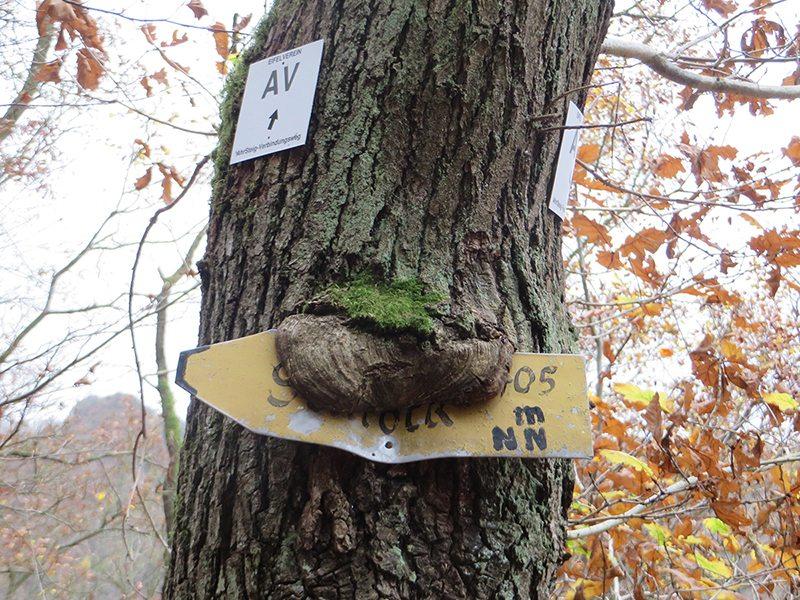 AhrSteig-Lückenschluss: Baum, Narbe, Schild, Wegweiser. Auch dieser Baum hat sich für den AV entschieden (Foto: Hans-Joachim Schneider)