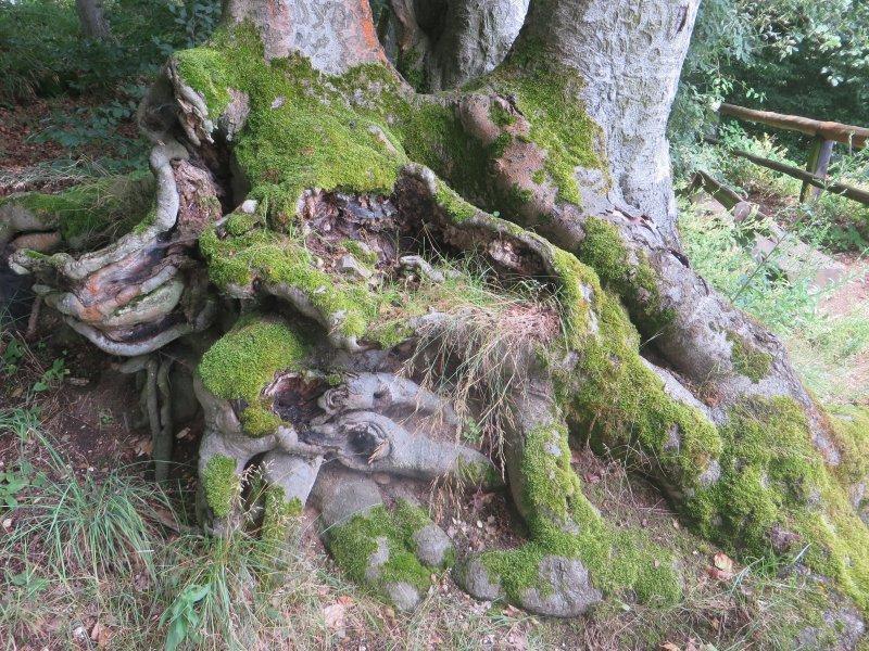 Grün, Pfad, Wald, Schatten, Baumwurzeln: Auch die Wurzeln erzählen Geschichten