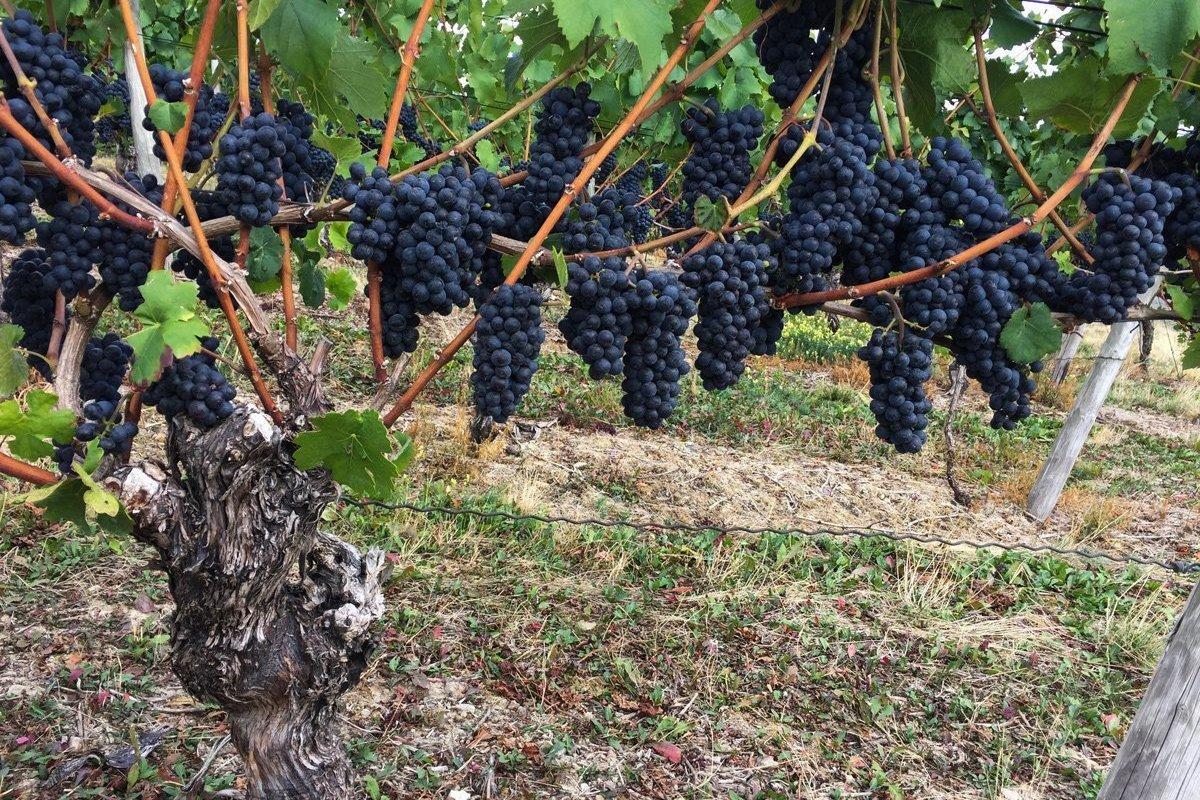 Süße schwere Rotweinreben am Weinstock. Ahrtal erleben für Weingenießer