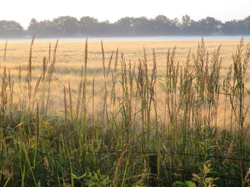 Getreide, Dunst, Morgennebel, Sonne, Morgensonne am Rand des Kottenforsts