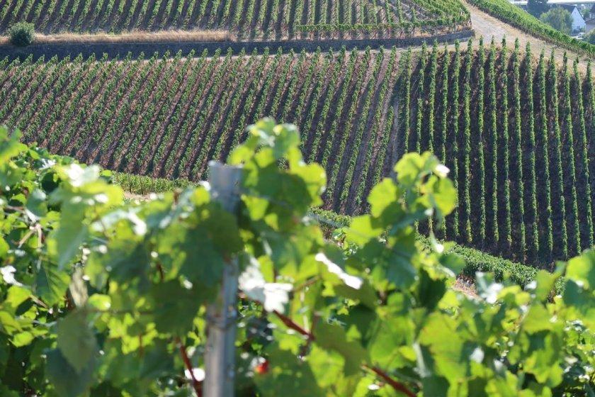 Ahrtal erleben inmitten der grünen Rebstöcke auf dem Rotweinwanderweg