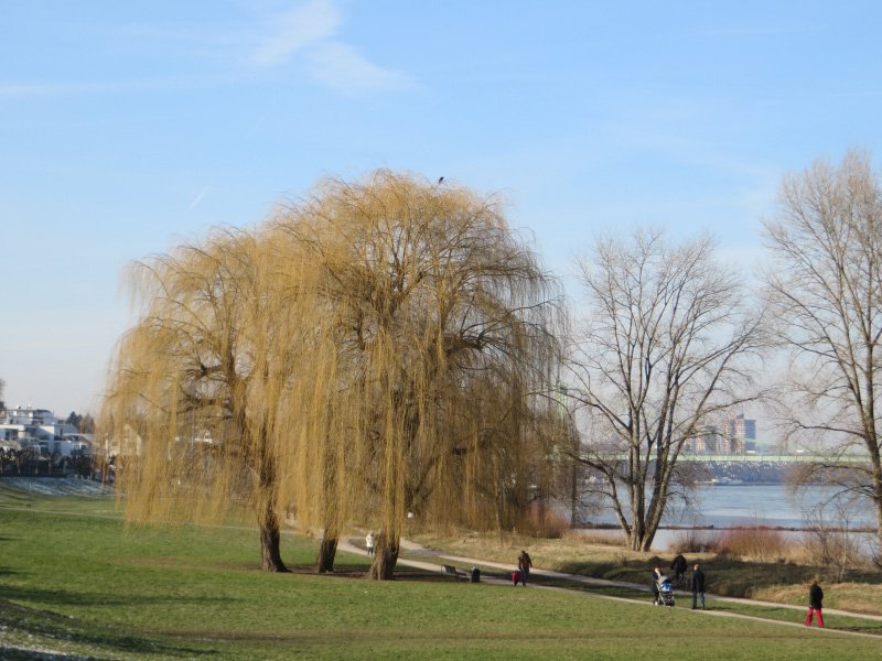 Winterlich entlaubte Bäume im Rheinufer