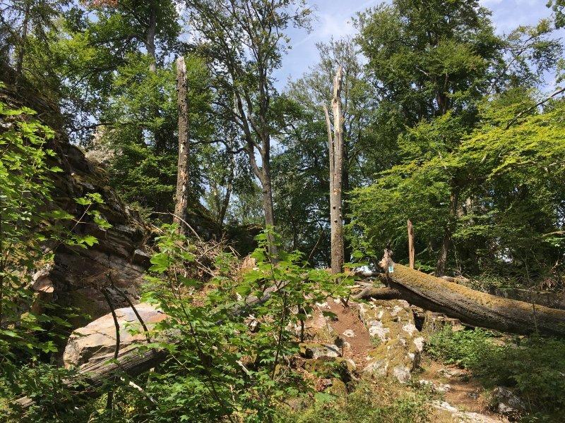 Umgefallene Bäume, kahle Stämme im ansonsten grünen Wald