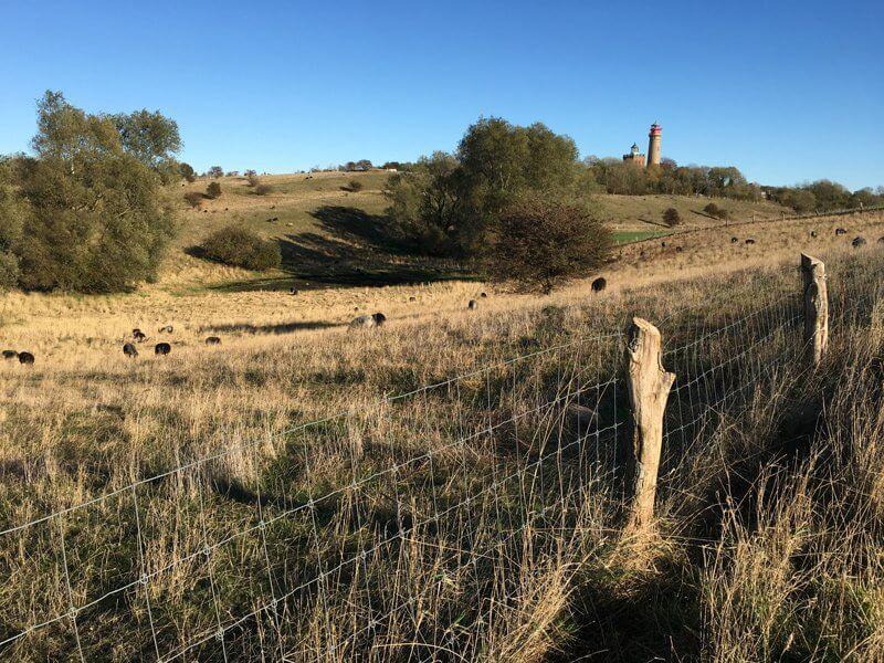 hügelige Wiesen mit braunem Gras und schwarzen Schafen, im Hintergrund der Leuchtturm auf Kap Arkona