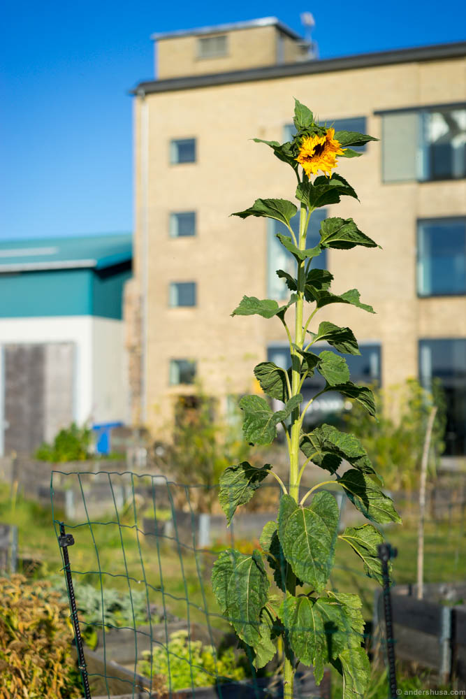 A sunflower growing tall in the lovely gardens of Amass.