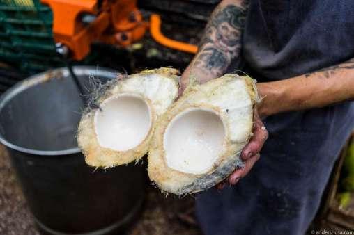 Young coconut freshly sawed
