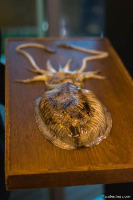 Cuttlefish from Sebtúbal