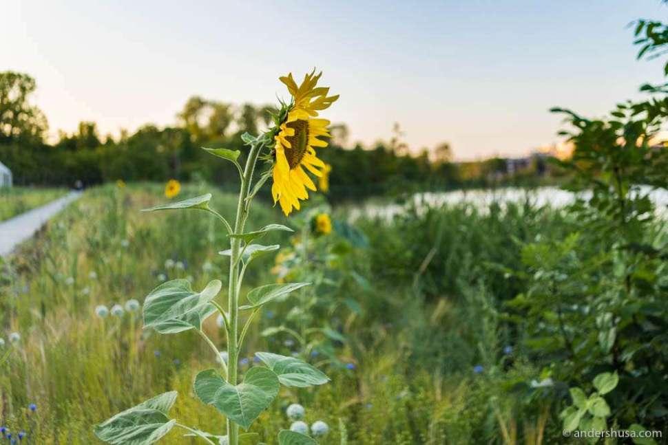Sunflowers outside Noma