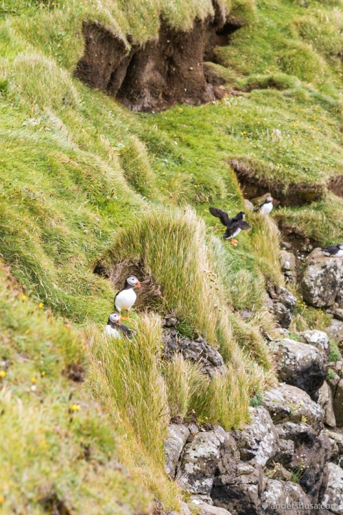 On some parts of the island you can see puffins!