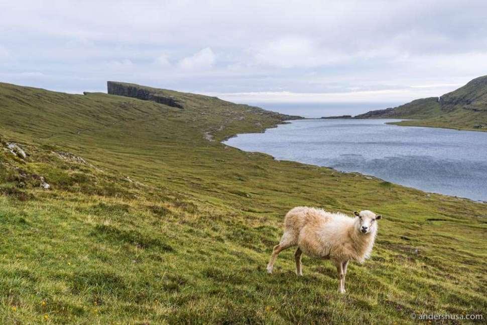 "Faroe Islands, translated ""sheep islands."""