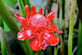 Torch ginger.