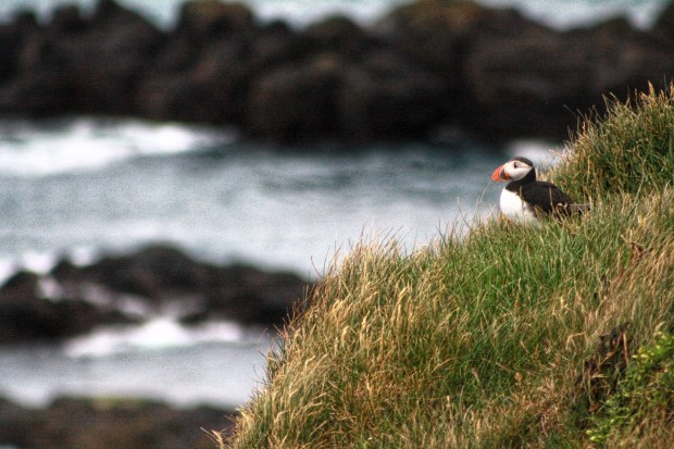 Puffins at Látrabjarg Cliffs in West Fjords, Iceland | Andiamo Aurora