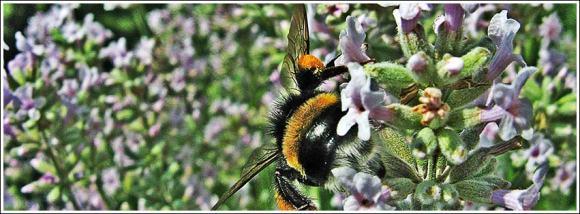 bumblebee_backside