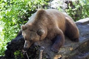 european-brown-bear-1477814_1920