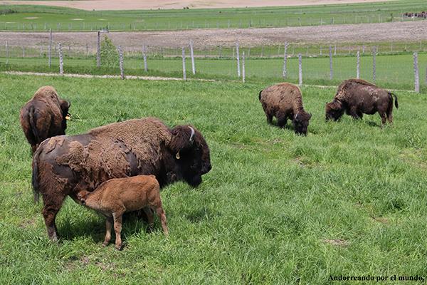 granja bisontes