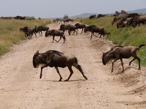 Ñus cruzando Serengeti