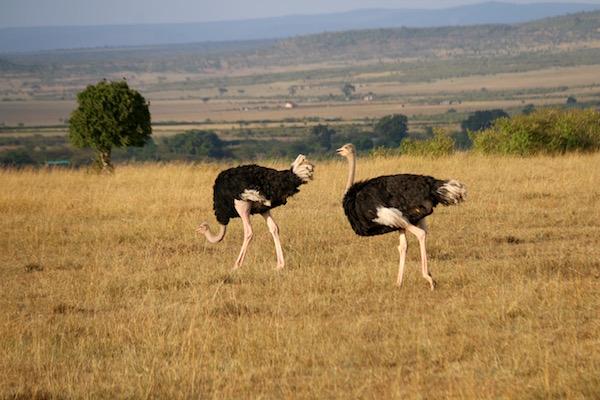 Avestruces Macho Maasai Mara-Andorreando por el Mundo