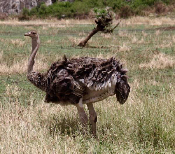 Avestruz Hembra Maasai Mara-Andorreando por el Mundo