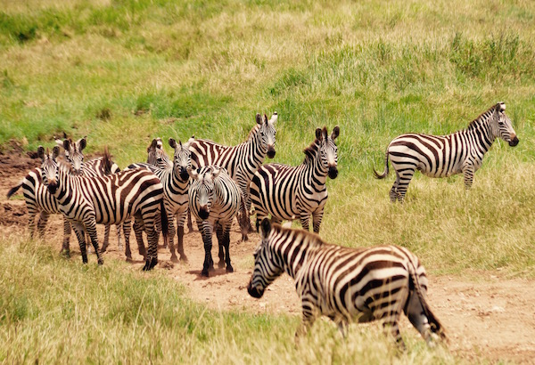 Cebras Parque Nacional Serengeti