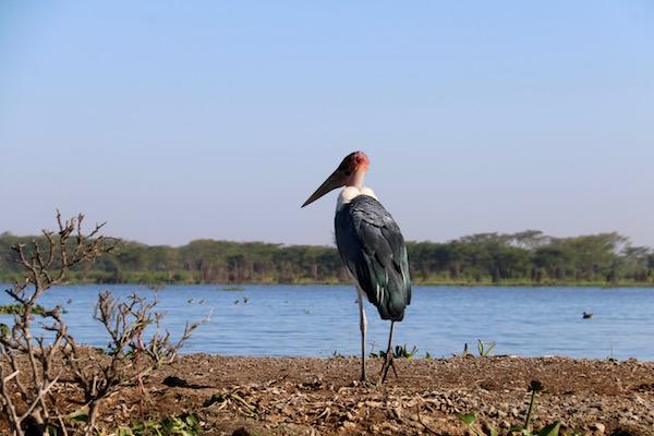 Cigüeña Carroñera Lago Naivasha-Andorreando por el Mundo