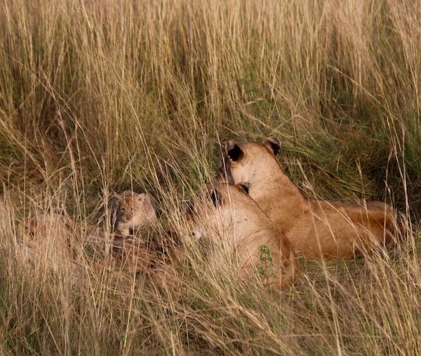 Familia Leones Maasai Mara-Andorreando por el Mundo