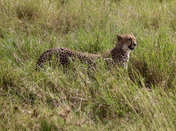Guepardo Maasai Mara-Andorreando por el Mundo