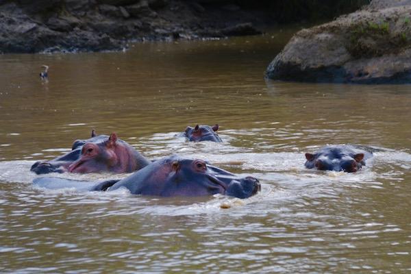 Hipopótamos Maasai Mara-Andorreando por el Mundo.