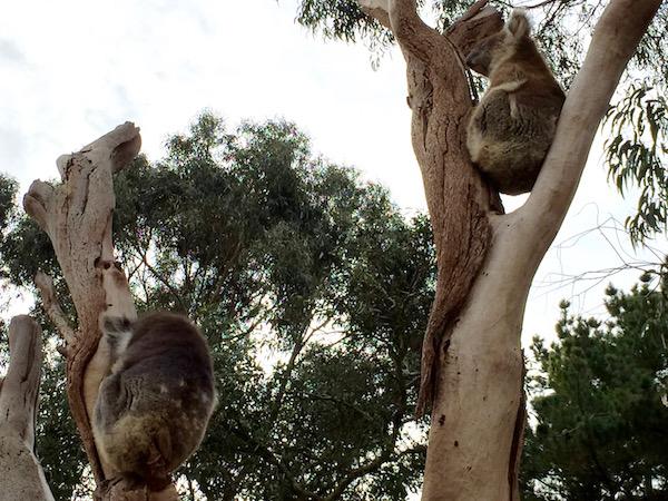 Koalas Andorreando por el Mundo