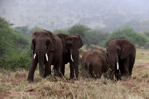 Manada de elefantes Seregeti-Andorreando por el Mundo