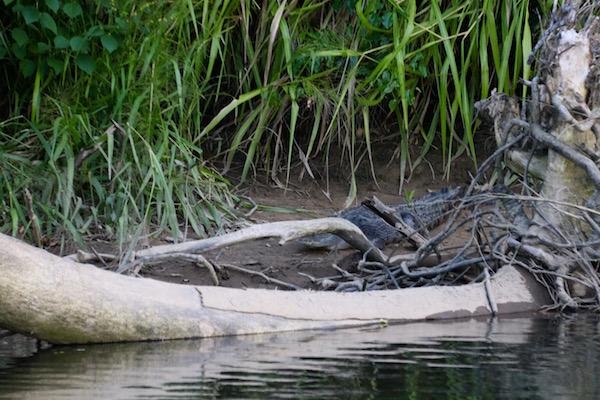 Cocodrilo Río Barron-Andorreando por el Mundo