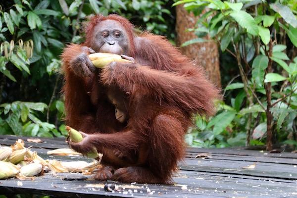 orangutan cria
